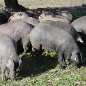 cerdo iberico