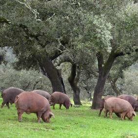Cómo es el cerdo ibérico