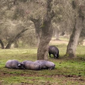 Ibéricos de Salamanca_cerdos en la dehesa